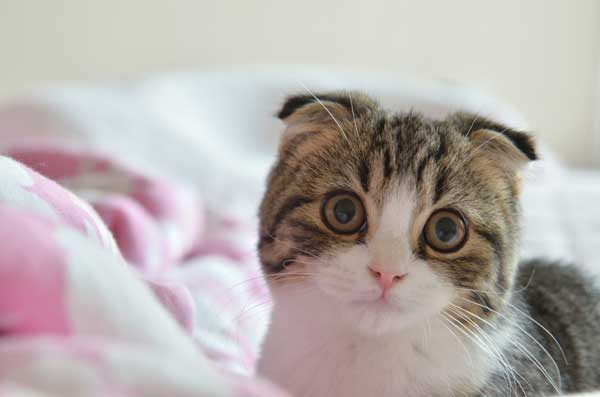 Scottish Fold Ears