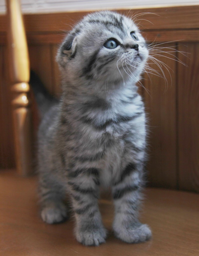 Scottish Fold Munchkin kittens for sale