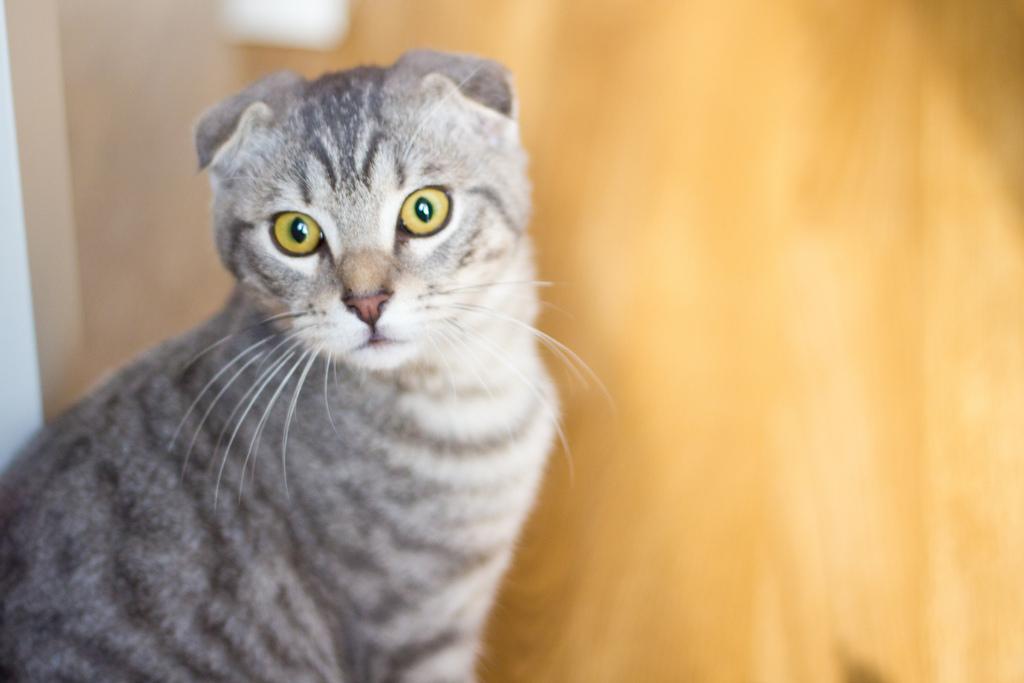 Kosten für Scottish Fold Kätzchen