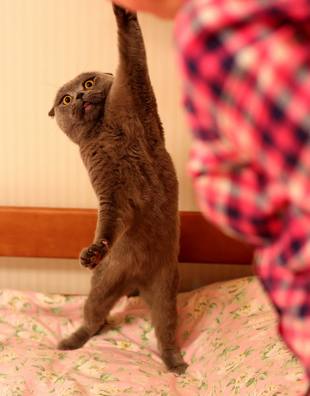 Scottish Fold Exercise Facts