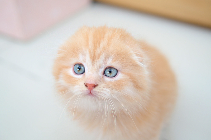 Scottish fold lifespan