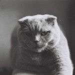 Scottish fold life expectancy