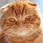 Scottish Fold Perfectly Groomed