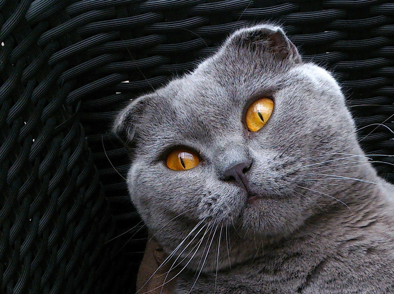 Nice Scottish fold