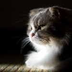 old scottish fold