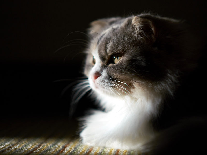 Senior Scottish fold
