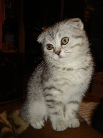 American Shorthair Scottish Fold