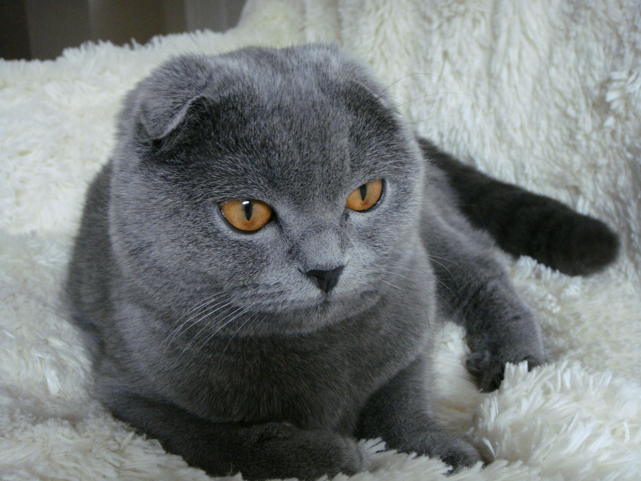 British Shorthair Scottish Fold