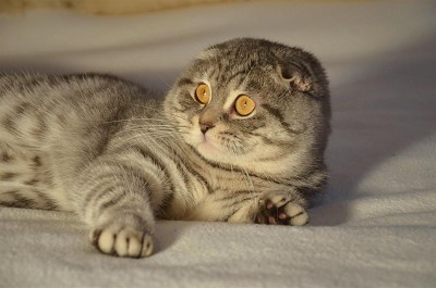 Scottish Fold Tabby