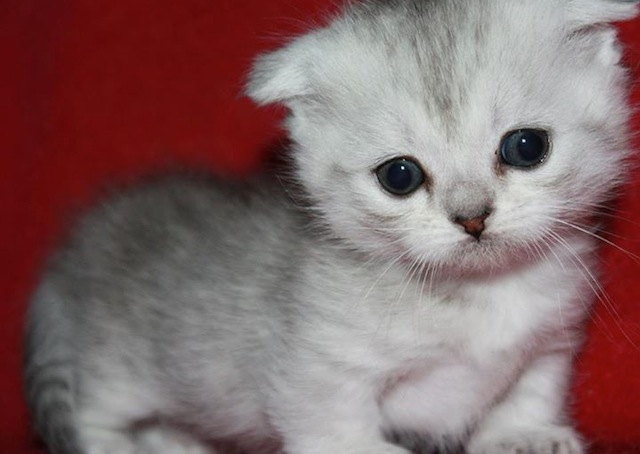 Scottish Folds Munchkins