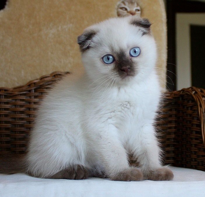 Siamese Scottish Fold